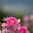 ヴェルニー公園の薔薇